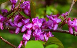 Spring, purple flowers, twigs
