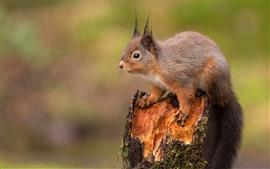 Squirrel, stump, wildlife