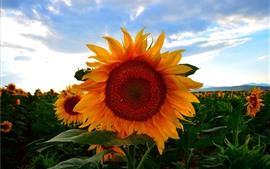 Preview wallpaper Sunflowers, field, dusk, clouds, summer