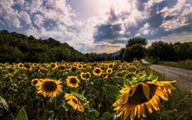 Preview wallpaper Sunflowers field, road, clouds, sunshine