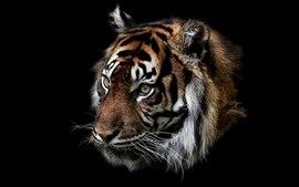 Preview wallpaper Tiger, face, darkness