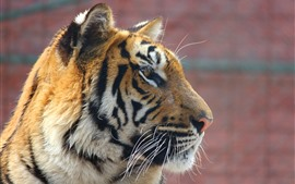 Preview wallpaper Tiger, face, side view, wildlife