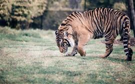 Tigre caminhando, prado