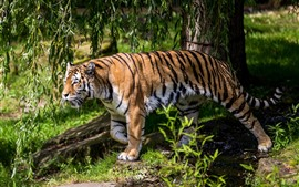 Preview wallpaper Tiger walking, willow
