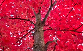 Tree, red maples leaves, autumn