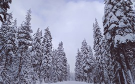 Trees, white snow, winter