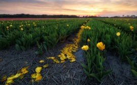 Preview wallpaper Tulips, flowers fields, morning