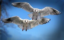 Vôo de dois pássaros, gaivota