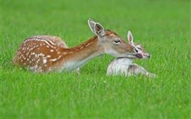 Zwei Hirsche, Mutter und Baby, Gras