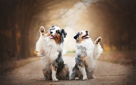 Two dogs, Australian shepherd, shake a paw