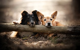 Dois cachorros, nebuloso