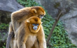 Two golden monkeys