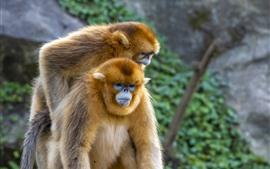Dois macacos dourados