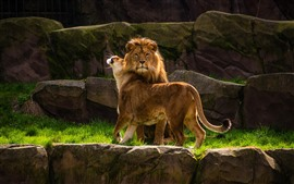 Two lions, family