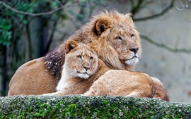 Preview wallpaper Two lions, rest