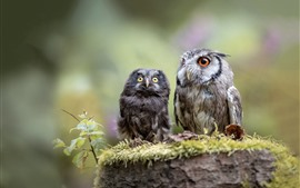 Two owls, mother and cub