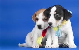 Dois filhotes de cachorro, fundo azul