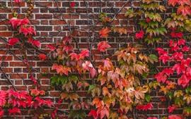 Parede, plantas, folhas vermelhas