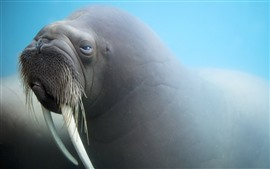 Preview wallpaper Walrus swim underwater