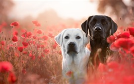 White and black dogs, red poppies