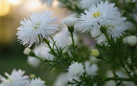 Preview wallpaper White asters flowers bloom