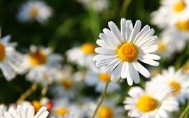 Margarita blanca, pétalos, primavera.