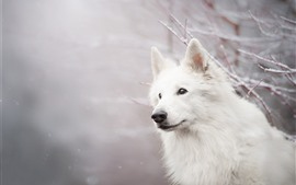 Preview wallpaper White dog, look, twigs, snow