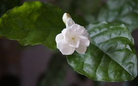 White jasmine flower close-up, green leaves