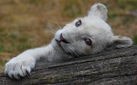 Белый львенок, взгляд, лапа