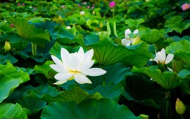 Preview wallpaper White lotus, green leaves, flowers