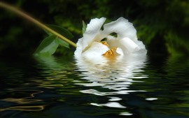 Preview wallpaper White peony flower in water