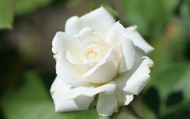 Preview wallpaper White rose close-up, bright