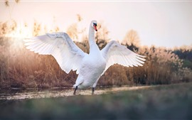 Preview wallpaper White swan open wings, pond, water, reeds