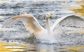 Preview wallpaper White swan open wings, water splash, lake