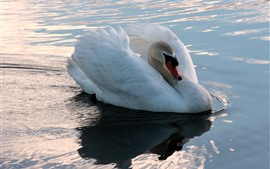 Preview wallpaper White swan, pond, water, shine