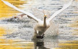 Белый лебедь взлетает, крылья, озеро, всплеск воды