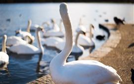 Cisnes brancos, lago