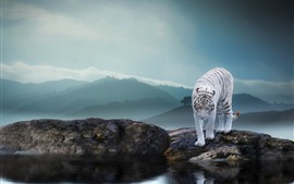 White tiger, rocks, pond, fog, morning