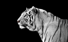 Preview wallpaper White tiger side view, black background