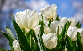 Tulipes blanches, vives