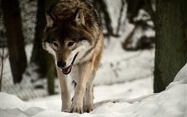 Lobo andando, neve, inverno