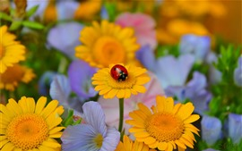 Preview wallpaper Yellow flowers, ladybug, insect