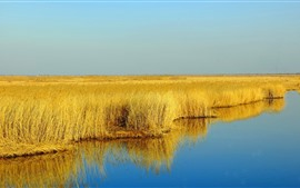 Preview wallpaper Yellow reeds, swamp, water, autumn