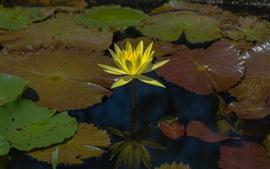 黄色の水のユリ、花のクローズアップ、花びら、葉、池