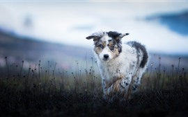 Pastor australiano, cachorro peludo, hierba