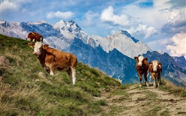 Austria, cows, mountains, grass, slope