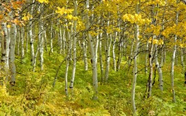 Preview wallpaper Autumn, birch forest, trees