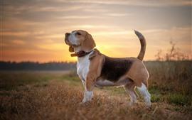 Beagle dog, sunshine