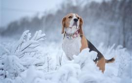 預覽桌布 小獵犬,狗,冬天,雪