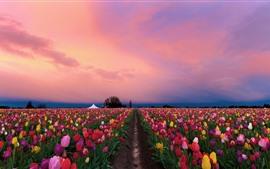 Lindas tulipas campos, flores coloridas, crepúsculo